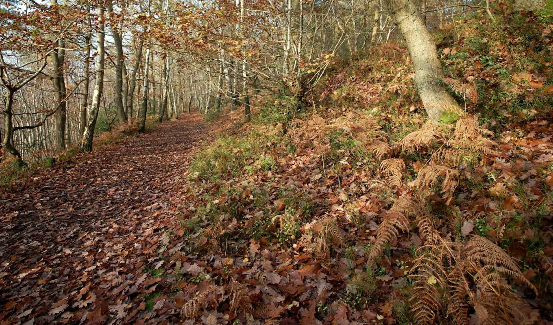 папоротник, лес, листва, trail, осень, дубовые, туман, дек,