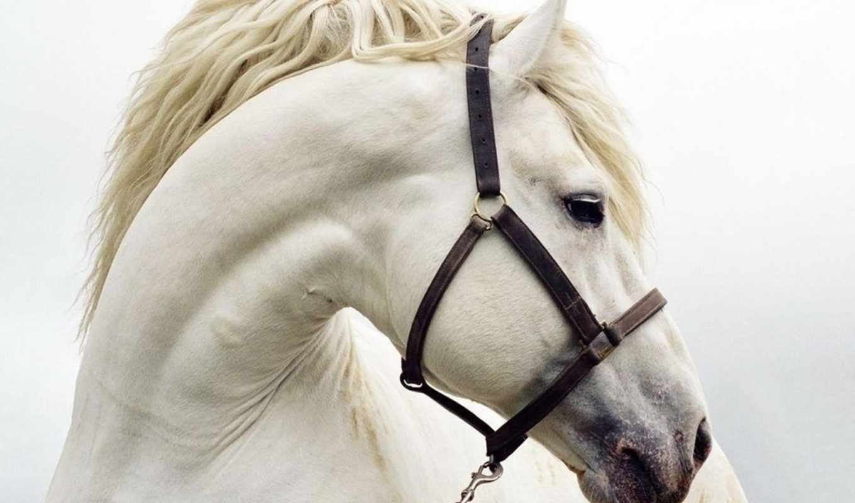 white, wallpaper, horses, животные, лошади, hd, desktop, лошадь, wallpapers, you, animal, все,