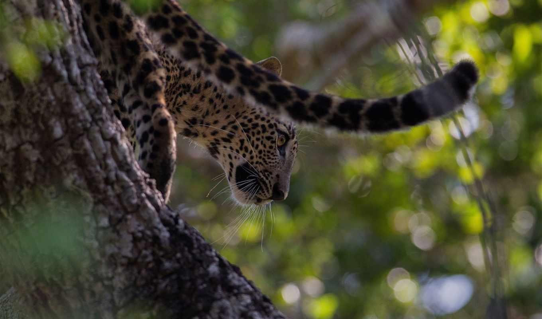 дикая, кошка, леопард,