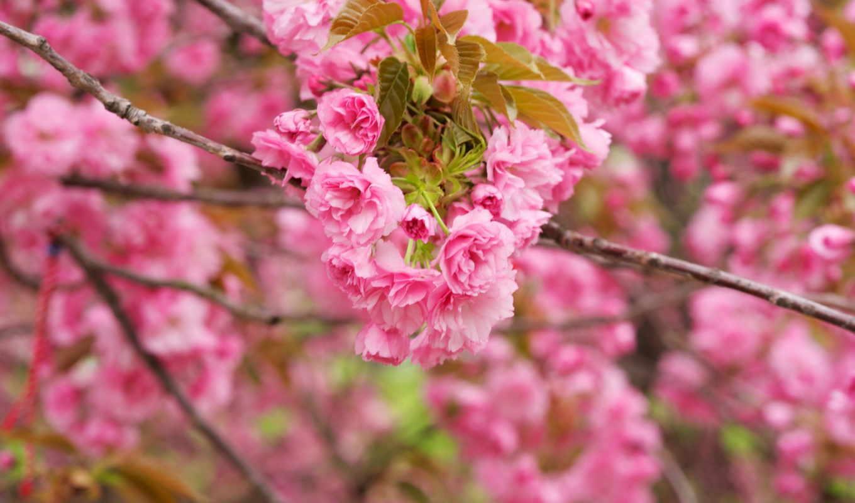 широкоформатные, vesna, ветка, цветение, Сакура, волки, разных, kartinka, разрешениях, цветущей,