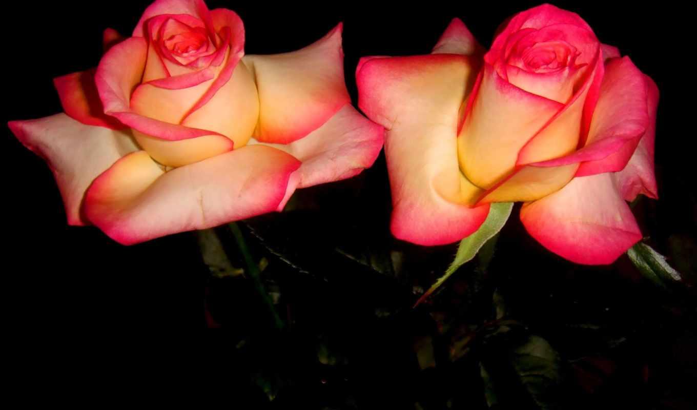 full, flowers, pantalla, roses, double, rosas, восхитительный, dobles,