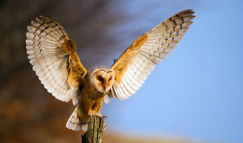 взмах, высококачественные, gelacsis, owl, животные, сова, собрал, love,