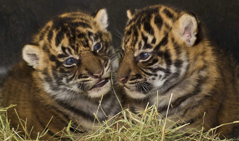 обои, тигрята, кошки, животные, фото, лучшем, хищн