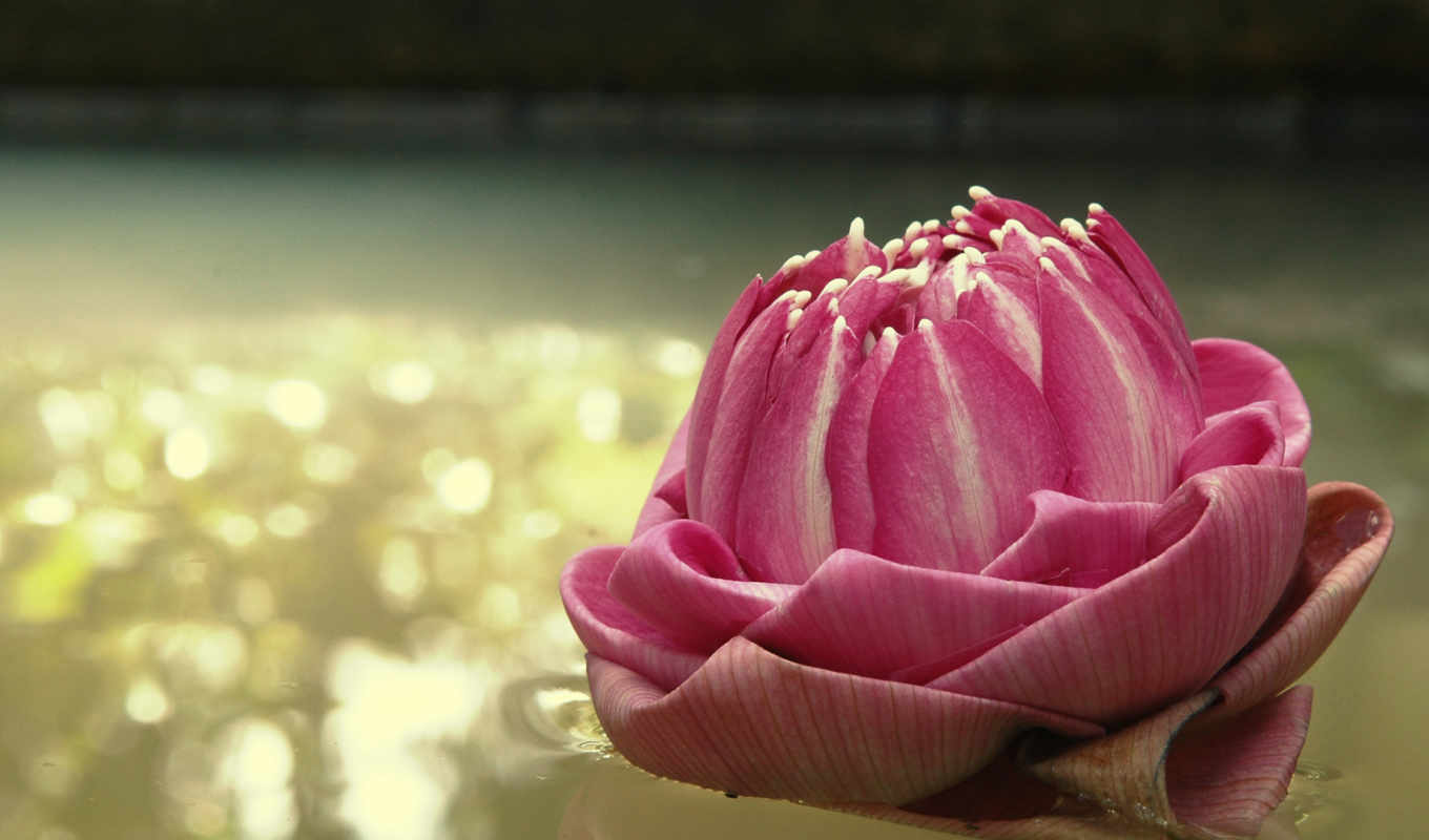 flowers, nature, water, lily, wallpaper, картинка,