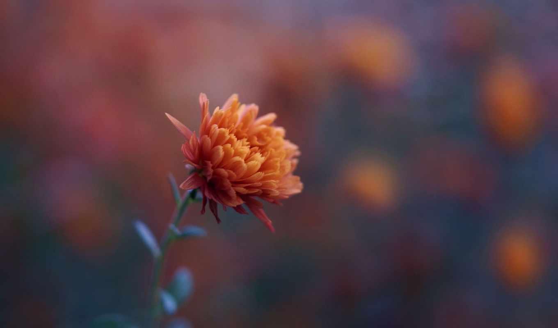 chrysanthemum, desktop, оранжевый,