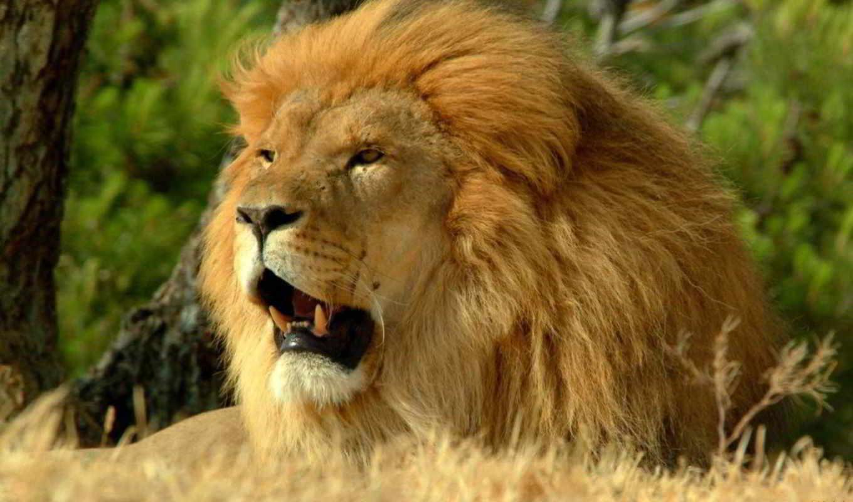 lion, zhivotnye, растения, животных, live, африка, африки,