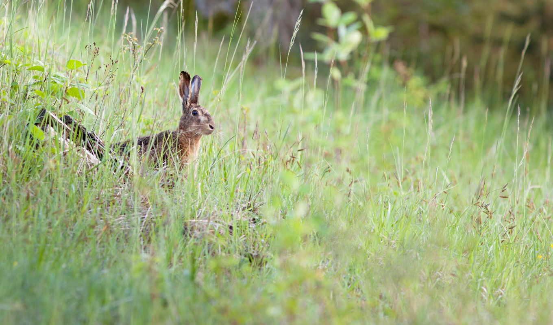 priroda, zhivotnye, кролик, заяц, зайцы, desktop, leto,