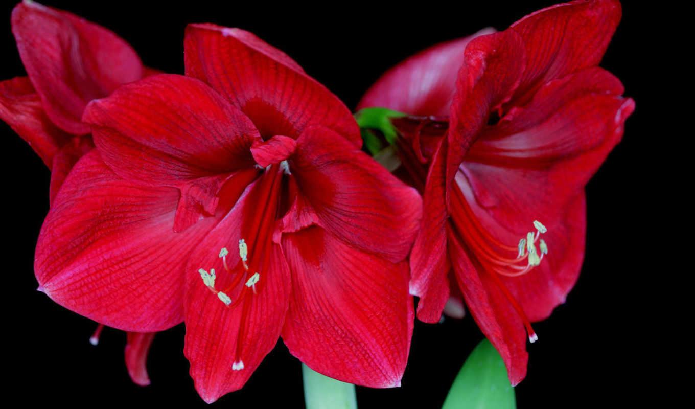 амариллис, red, черном, fone, цветы, кб, просмотров,