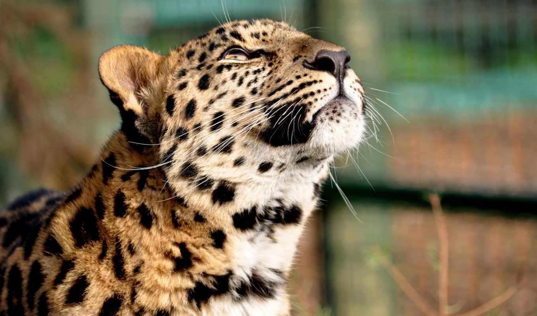 голова, леопард, кошачьих, гепард, кот, охотники, манул, большая, задумчивость, парнокопытный, мул,