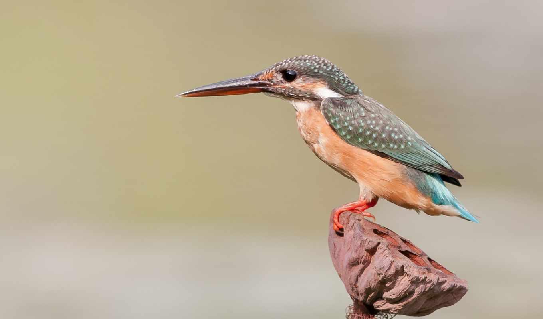 птица, kingfisher,