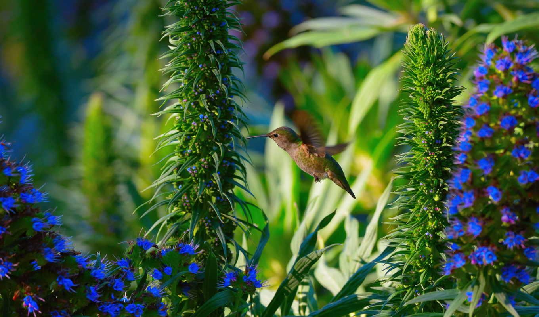 animals, колибри, цветы, полет, птичка, птица,