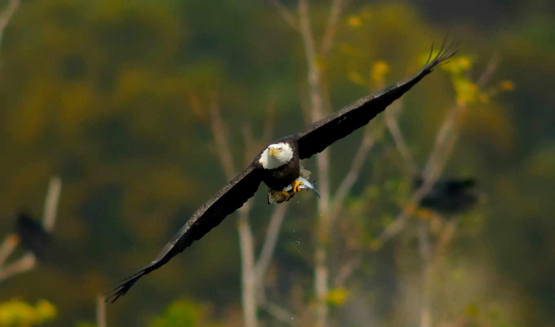 орлан, крылья, птица, полет,