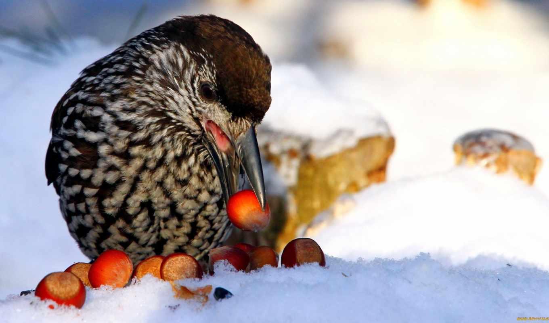 птица, кедровка, птицы, загрузок, zhivotnye, взгляд, branch, полете,