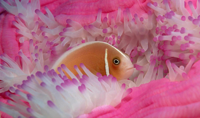 fish, море, coral, клоун, images, tropical, stock, рыбки, reefs,