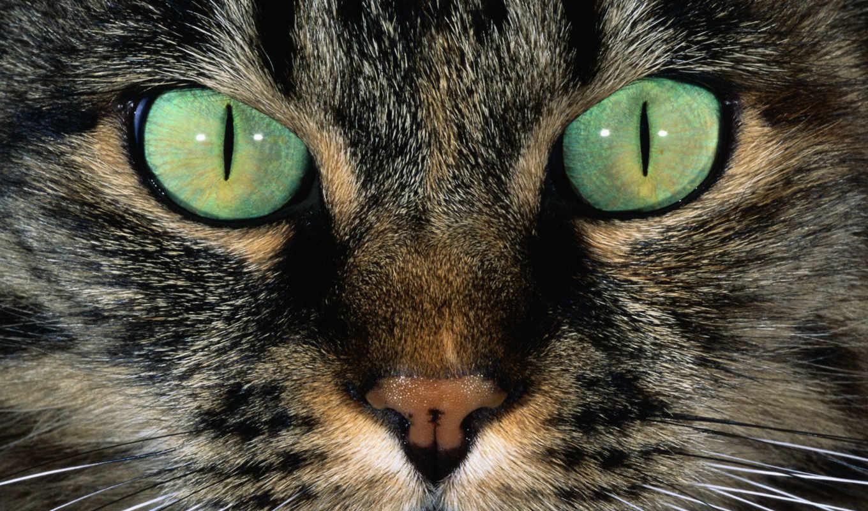 морда, глаза, кот, взгляд, шерсть, кошачья, усы, нос, кошек, зеленые,