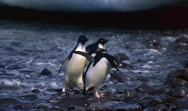 пингвины, penguins, животные,