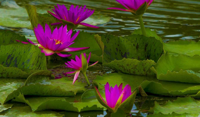 дневник, virtual, темы, water, часть, lily, нимфея,