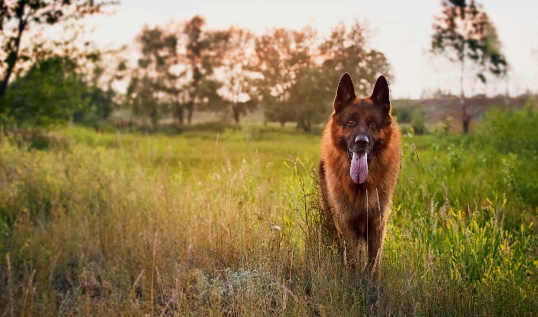 овчарка, немецкая, собака,