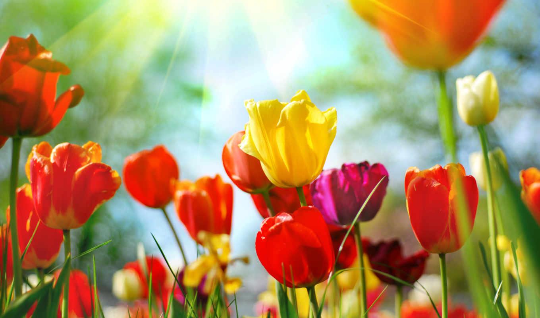 тюльпан, cvety, цветов, тюльпаны, без, пост,