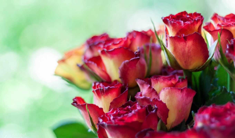 цветы, розы, flowers, роза, roses,