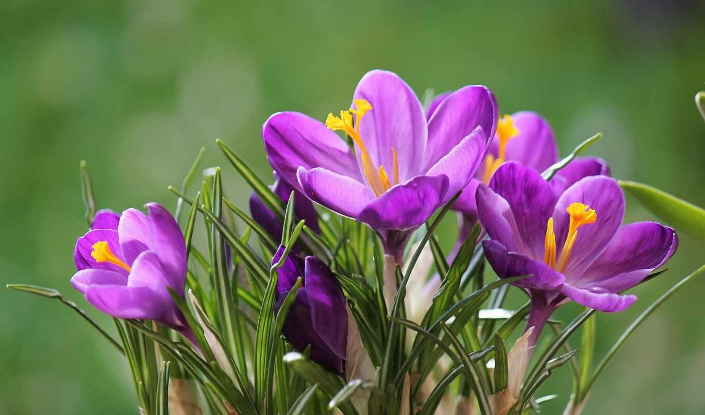 крокусы, шафран, цветы, sempre, ди, more, весна,