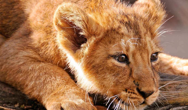 lion, детёныш, кот, хищник, animal,