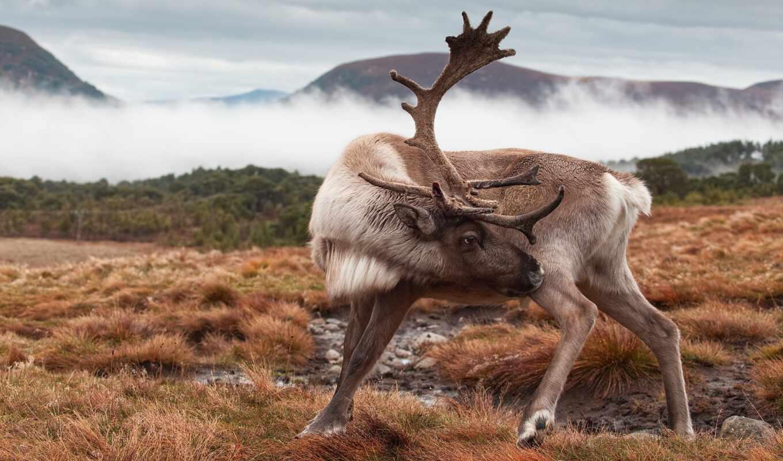 лань, рогатый, animal, reindeer, природа, трава, cuerno, cervidan