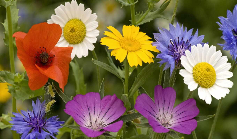 цветы, полевые, васильки, день,