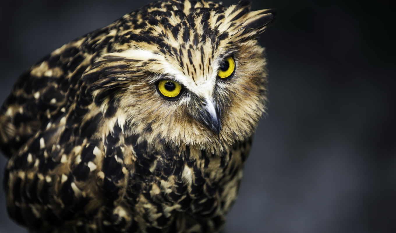 сова, owls, птица, black, birds,