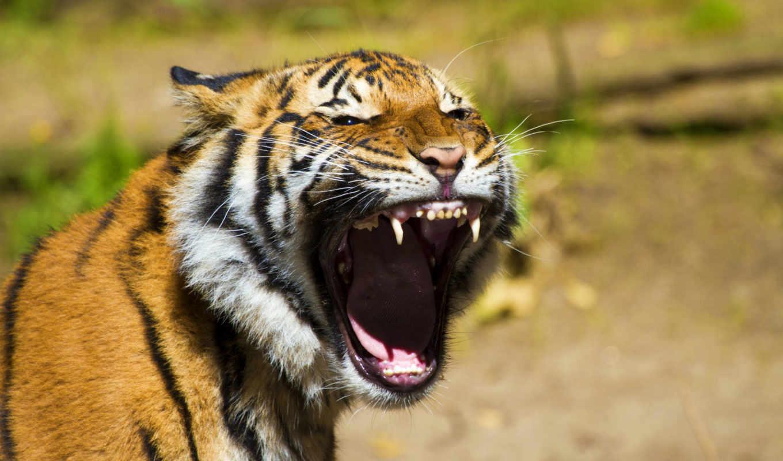 тигры,