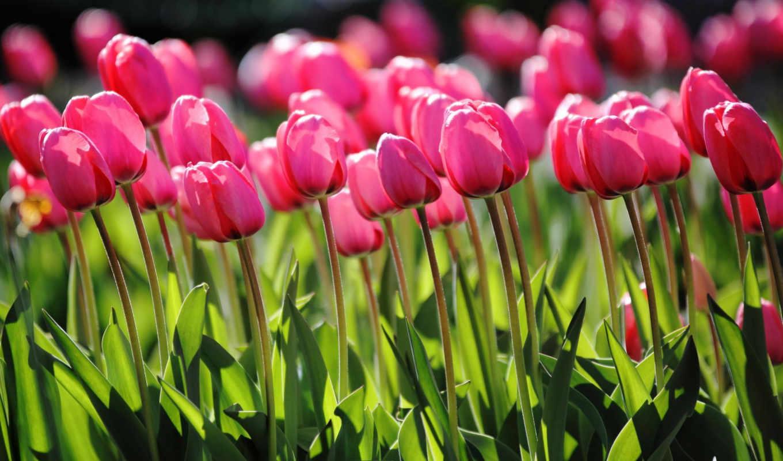 spring, tulips, pink, flowers, yellow, bokeh,