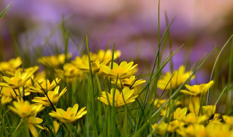 flowers, yellow, цветы, желтые, поле,