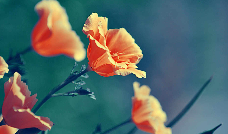 оранжевые, цветы, макро, color, маки, природа, растительность,