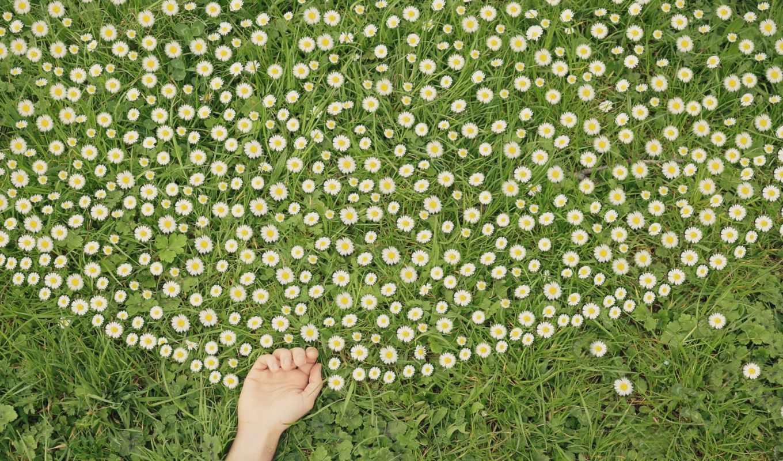 ромашки, трава, рука, зелёный, белый