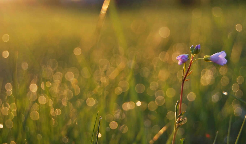 цветы, роса, макро, трава, drop, поле,