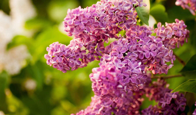 цветы, сиреневый, этом, картинок, branch, соцветия,