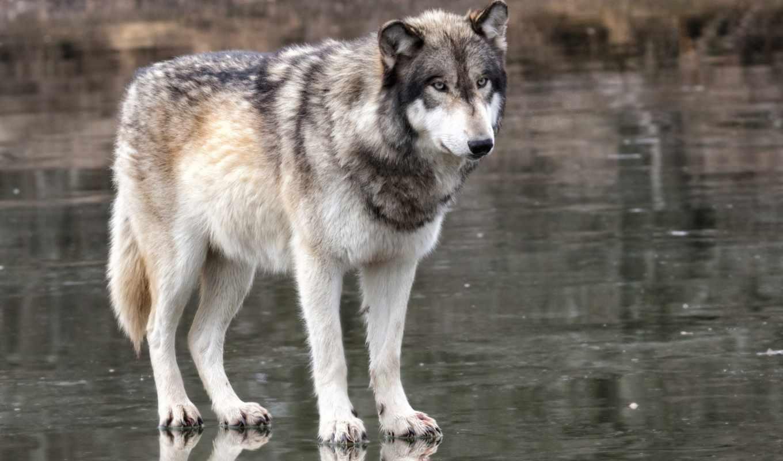 страница, волк, possible, установить,
