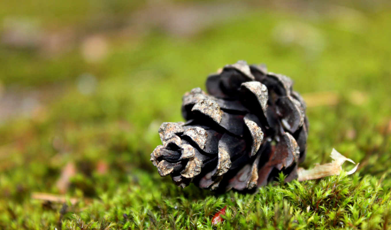 макро, лес, мох, шишка, зелёный, хвойный, сосна, картинка, картинку,