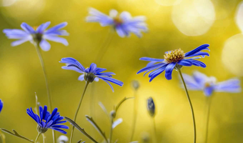 полевые цветы, голубые цветы, цветочки,