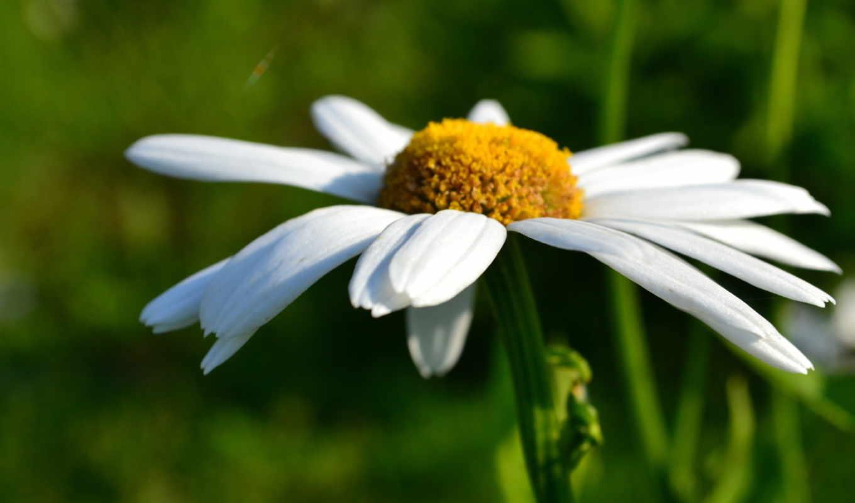 ромашка, макро, цветы, summer, боке, white, yellow,
