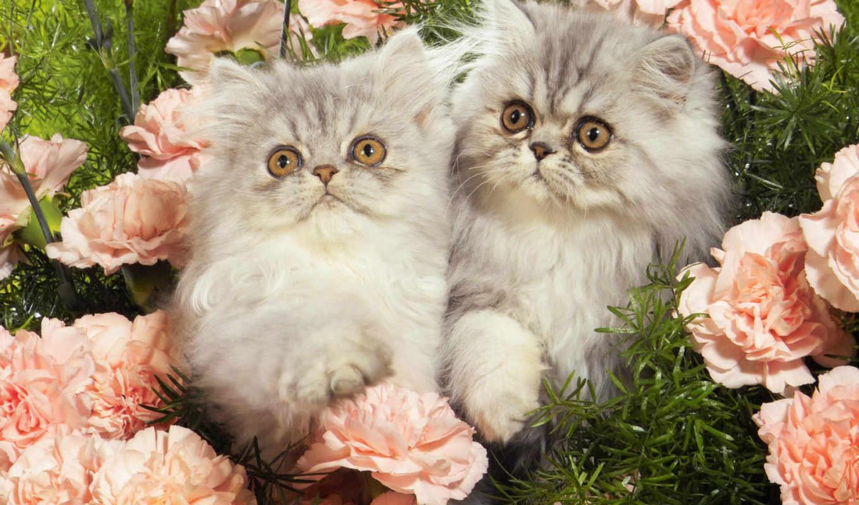 zhivotnye, кошки, широкоформатные, красивые, фотографий, все, животных, картинок, коллекция, desktopwallpapers,