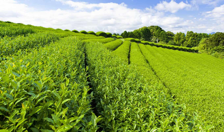 чая, плантация, чайная, плантации, чая, листья, чайные, зеленые,