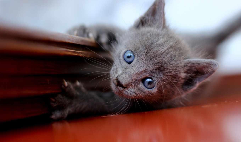 котенок, голубоглазый, серый, смотрит, лежит, полу,