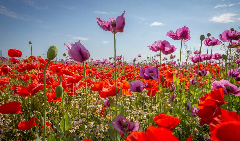 poppy, цветы, red, purple, луг, розовый