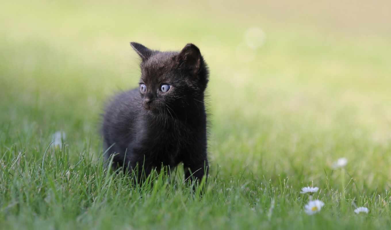 black, кот