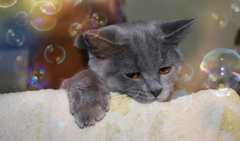 британец, кот, полотенец, пузыри, морда, совершенно, котенок,
