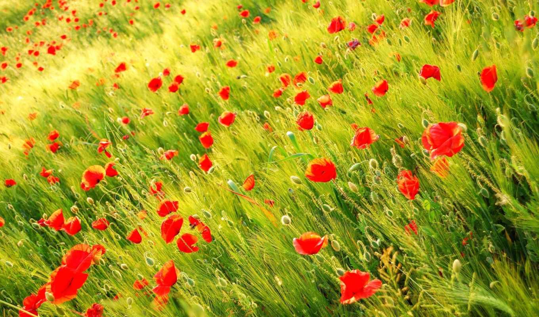 маки, поле, природа, красные, цветы,