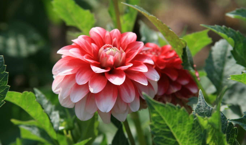 пион, цветы, прогулка, настроение, sun, утро,