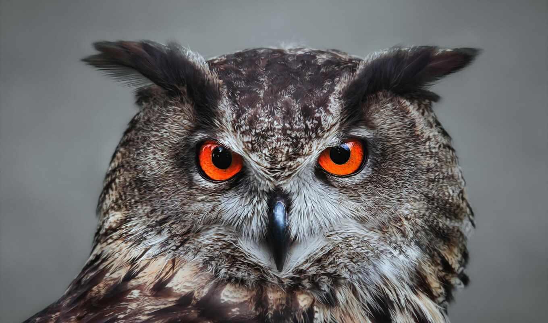 сова, оранжевыми, глазами, морда, птица, смотреть, перья, клюв, филин, свет,