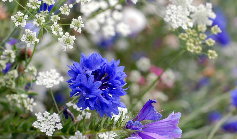 васильки цветы фото на рабочий стол